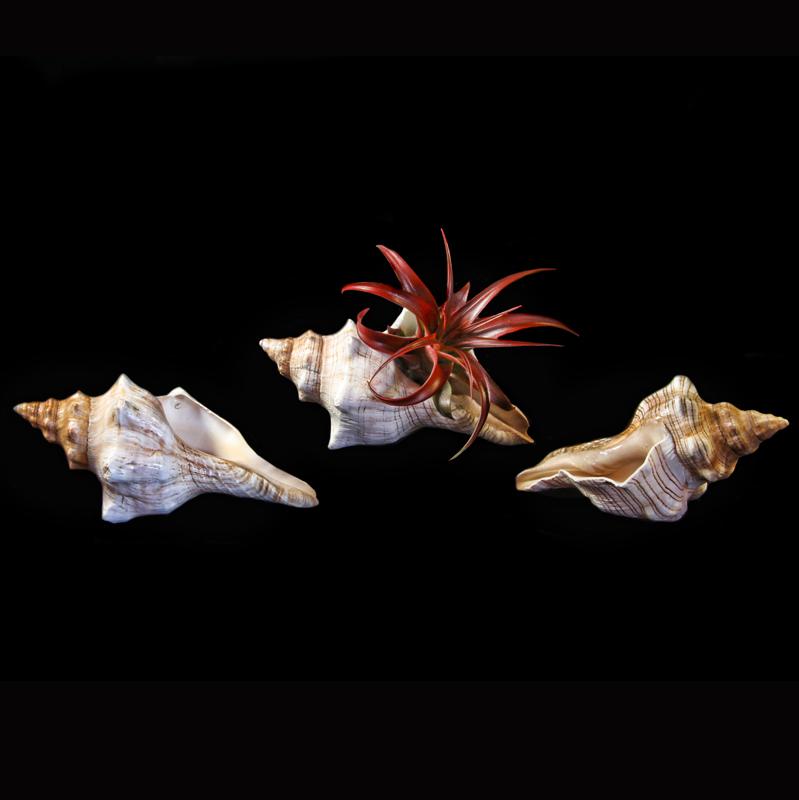Shells 3-4 inch