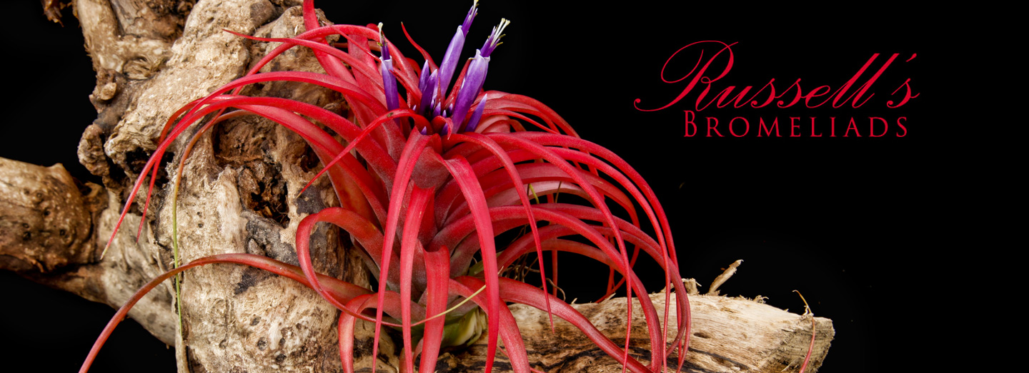 Russell's Bromeliads